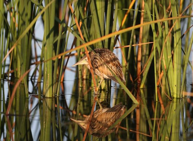 Petits poussins de butor commun (ixobrychus minutus) assis sur des tiges de roseau dans la douce lumière du matin.