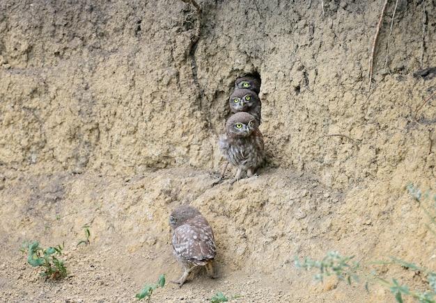 Les petits poussins de hibou dans différentes situations amusantes après avoir quitté le nid. ils étudient le monde qui les entoure avec curiosité.