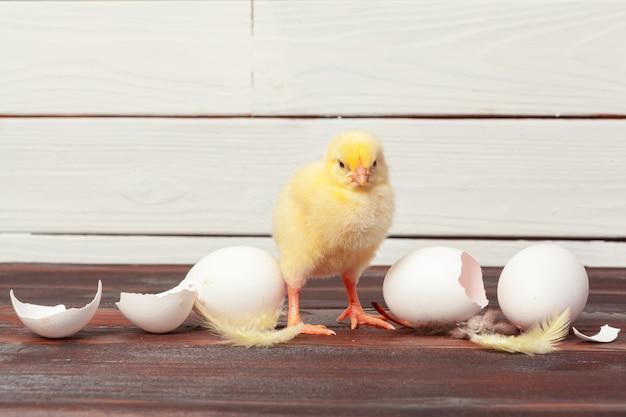 Petits poussins jaunes et coquilles d'oeufs
