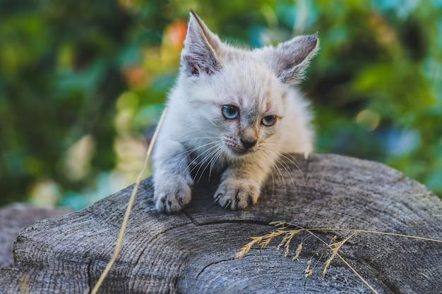 Petits yeux de couleur bleue chaton thai dans le jardin