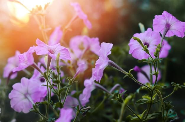 Pétunia de belles fleurs bleues, fond d'écran incroyable. la nature
