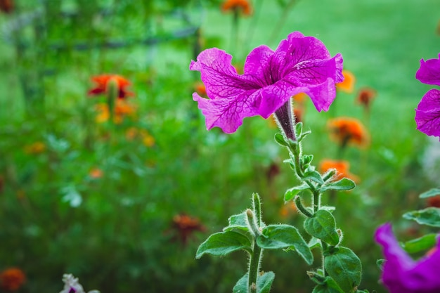 Pétunia de fleurs dans un parterre de fleurs sur un fond d'herbe verte close-up avec espace de copie