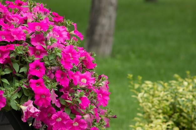 Le pétunia rose est une plante annuelle à fleurs pour l'aménagement paysager et la décoration intérieure
