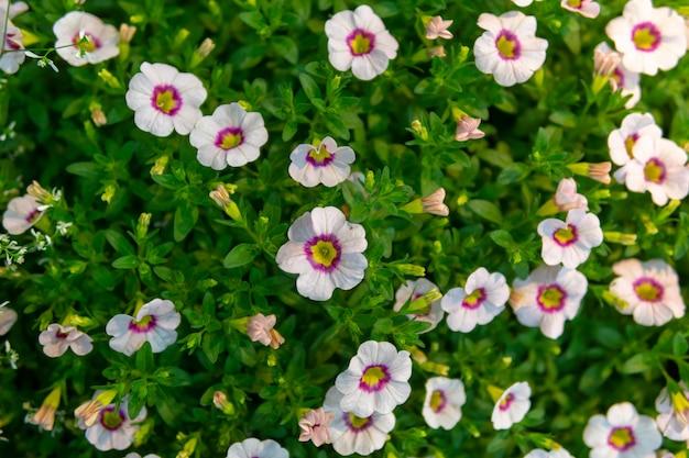 Petunia surfinia star blanc-rose