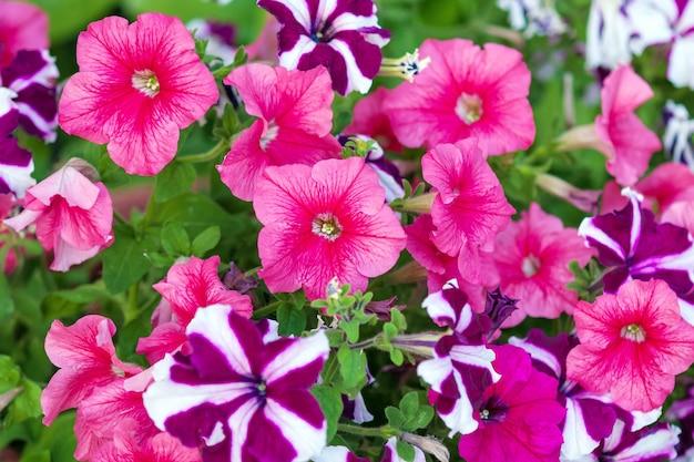 Pétunias rose vif dans le jardin fleuri