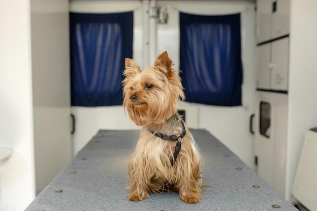 Peu amusant doggy yorkshire terrier posant sur une table de manipulation à l'intérieur d'une voiture d'ambulance pour animaux de compagnie