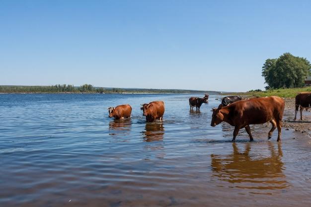 Peu de vaches sont debout dans la rivière par un chaud après-midi d'été.