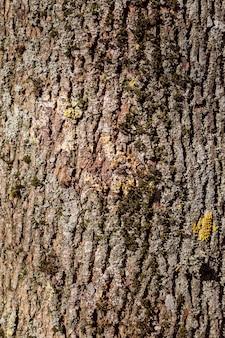 Peuplier de texture d'écorce d'arbre. texture transparente à carreler.