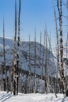 Peupliers blancs brûlés dans la neige d'une station de ski
