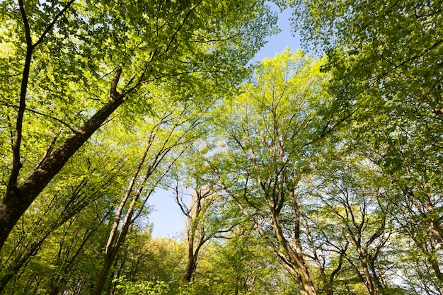Peupliers verts au printemps dans la forêt