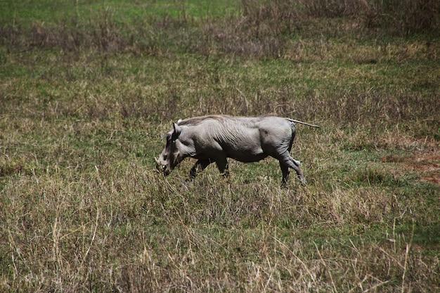 Phacochère en safari au kenya et en tanzanie, en afrique