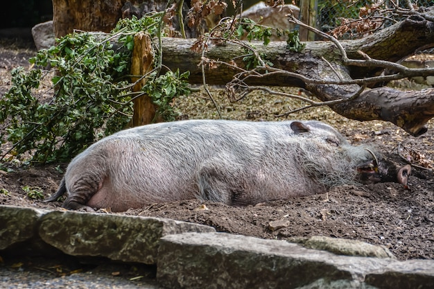 Le phacochère se trouve et dort sous un arbre sous le soleil d'été.