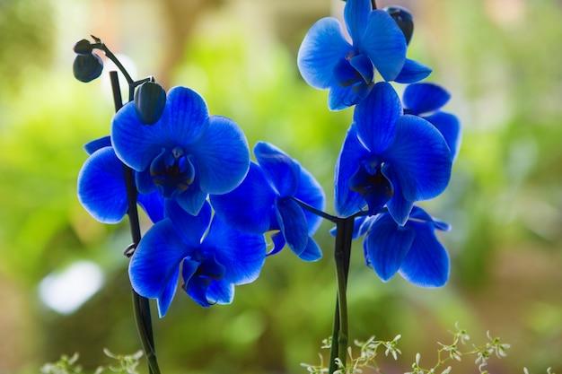 Phalaenopsis bleu orchidée jolies fleurs