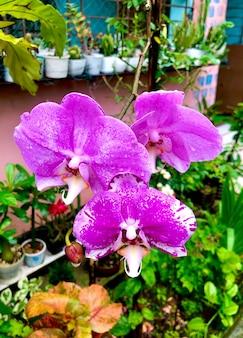 Phalaenopsis rose ou moth dendrobium fleur d'orchidée en hiver ou au printemps jardin tropical
