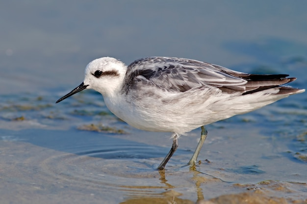Phalarope à bec étroit phalaropus lobatus oiseaux non reproducteurs