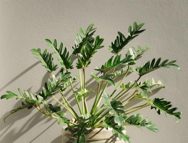 Philodendron xanadu plante d'intérieur tropicale botanique dans un beau pot en céramique verte, mur de ciment