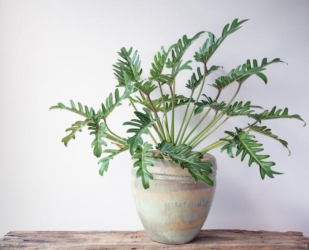 Philodendron xanadu plante d'intérieur tropicale botanique dans un beau pot en céramique verte sur plancher de bois grunge