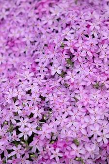 Phlox en fleurs dans le parterre de fleurs