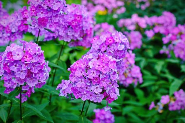 Phlox de jardin violet (phlox paniculata), fleurs d'été vives