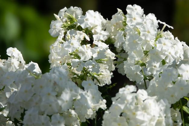 Phlox paniculata, phlox d'automne, phlox de jardin phlox vivace