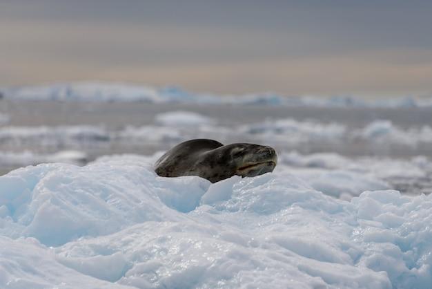 Phoque léopard sur glace