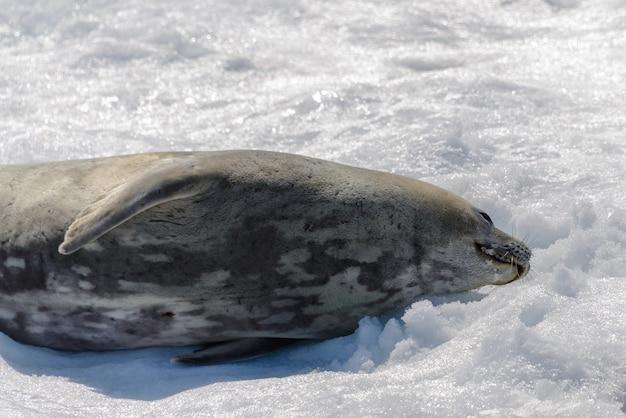 Phoque léopard sur la plage avec de la neige en antarctique