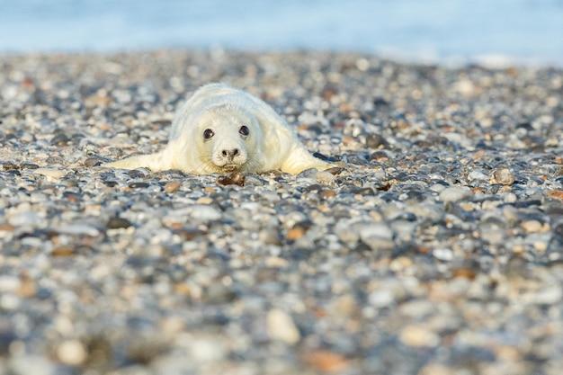 Phoque sur la plage sur l'île des dunes près de helgoland