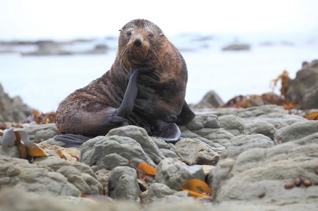 Phoque sauvage à la colonie de phoques côtière à kaikoura en nouvelle-zélande