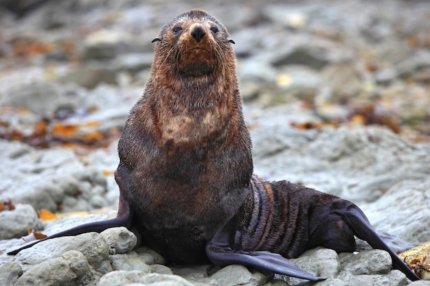 Phoque sauvage à la colonie de phoques à kaikoura en nouvelle-zélande, gros plan
