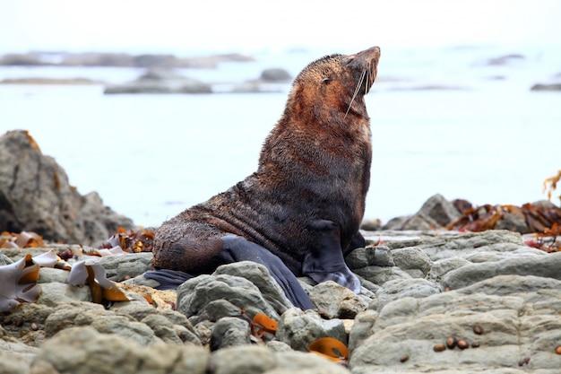 Phoque sauvage à la colonie de phoques kaikoura en nouvelle-zélande