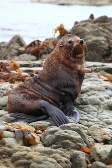 Phoque sauvage mignon à la colonie de phoques kaikoura en nouvelle-zélande