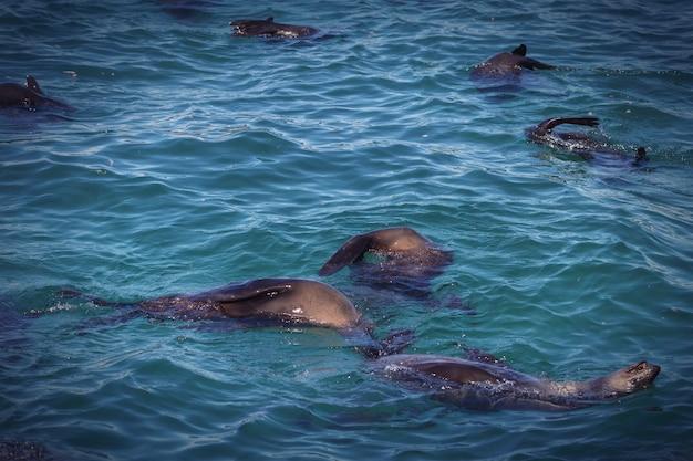 Phoques nageant dans l'océan en afrique du sud