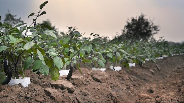 Photo d'aubergines poussant dans le champ de l'agriculteur.