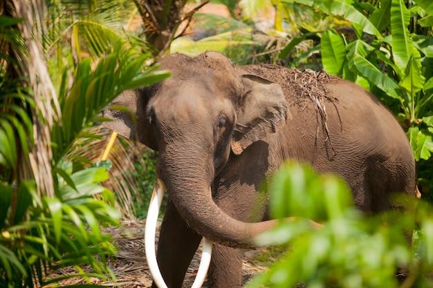 Photo d'un bel éléphant énorme dans la jungle exotique du sri lanka ensoleillé