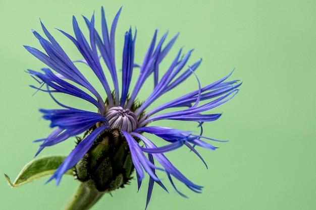 Photo de bleuet décoratif sur un vert