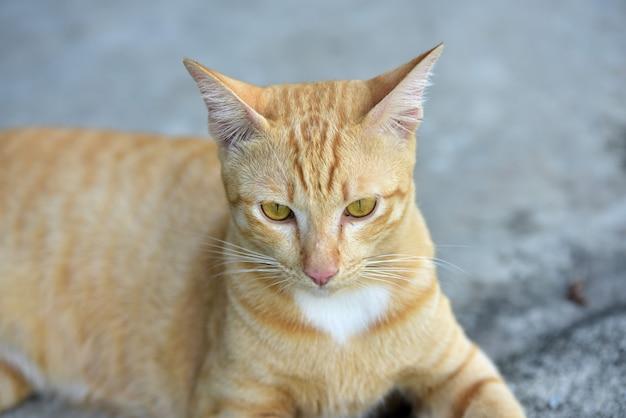 Photo close du chat brun joli chat brun