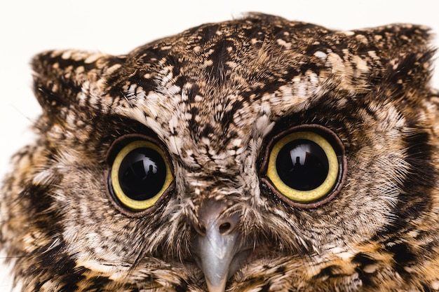 Photo du visage d'un hibou, grands yeux.