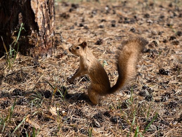 Photo d'un écureuil en mue avant l'hiver.