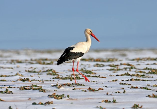 Photo en gros plan de la cigogne blanche à pied sur un champ enneigé