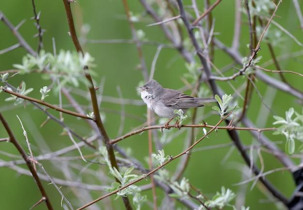 Photo en gros plan de la gorge blanche (curruca communis) en plumage nuptial se trouve sur une branche d'arbre. lumière douce du matin
