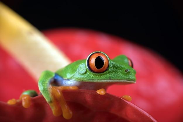 La photo en gros plan d'une rainette aux yeux rouges