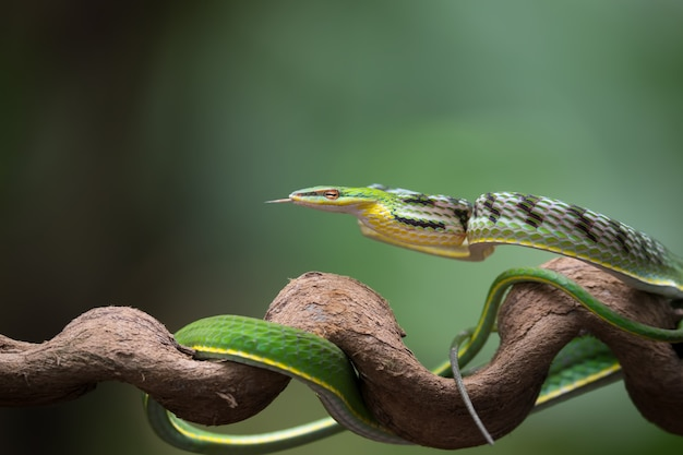 La photo en gros plan de serpent de vigne asiatique sur la branche d'arbre