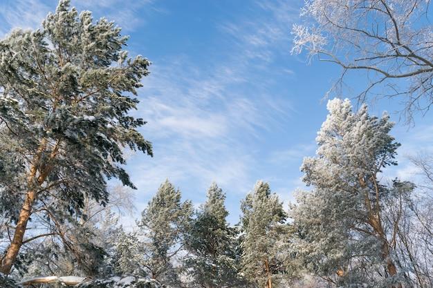 Photo d'hiver du ciel bleu entouré de la cime des arbres