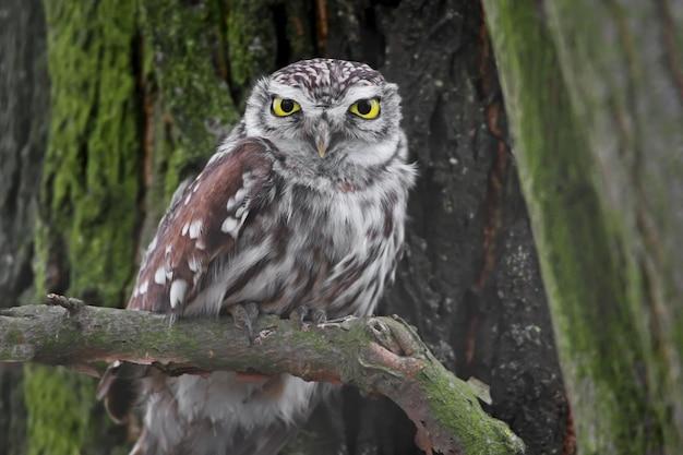 Photo d'hiver très rapprochée de la petite chouette femelle de l'arbre.