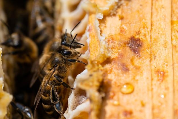 Photo macro d'abeilles qui travaillent sur les nids d'abeilles. image de l'apiculture et de la production de miel