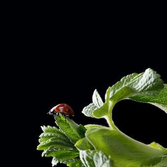 Photo macro de coccinelle assise sur des feuilles fraîches vertes