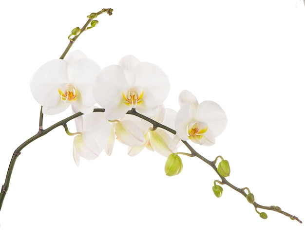 Photo macro d'orchidée blanche. phalaenopsis isolé sur fond blanc
