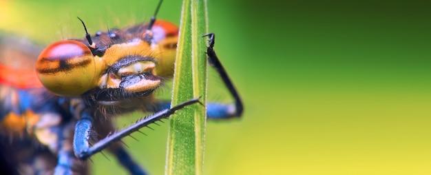 Photo macro d'un portrait d'une libellule, avec de grands yeux, gros plan, s'accrochant à une brindille d'une plante
