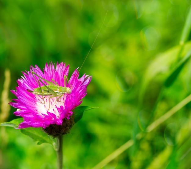 Photo macro de sauterelle verte dans le bleuet fleur sur un fond naturel vert