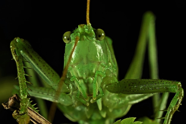 Photo macro d'une sauterelle